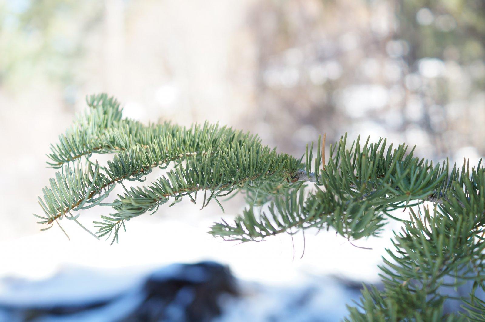 Tree Leaves at Big Bear Lake
