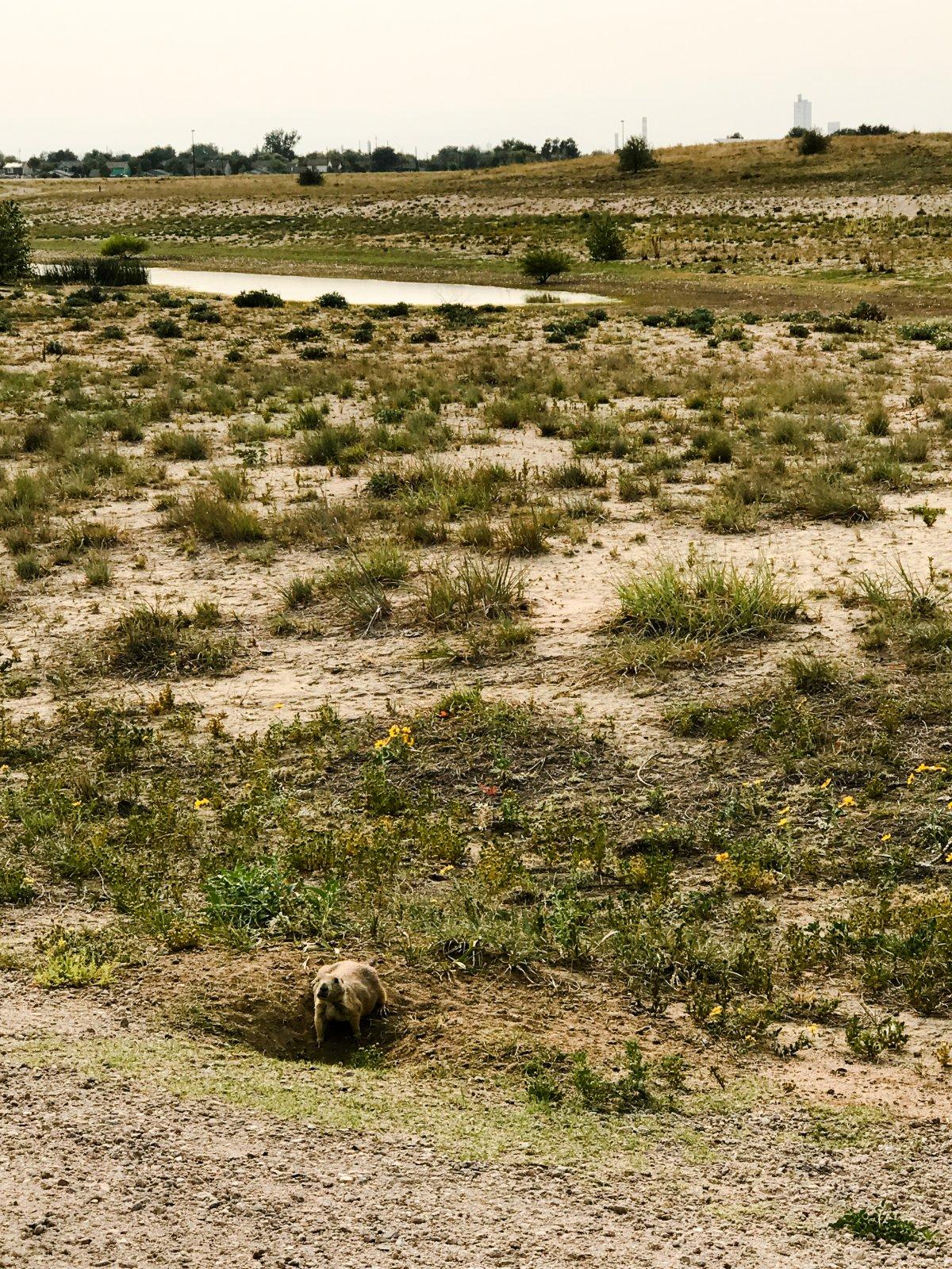 Rocky Mountain Arsenal Prairie Dog